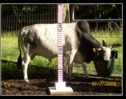 Mini Zebu Cattle