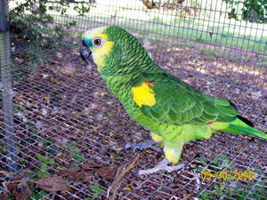 Green Fronted Amazon